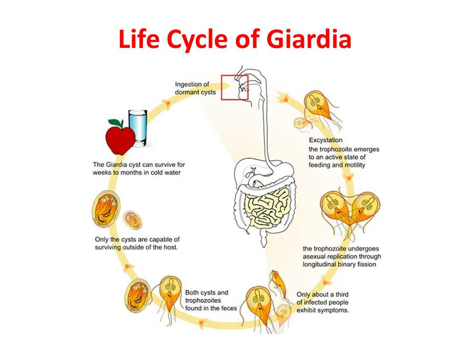 giardia kat besmettelijk annelids platyhelminthes és fonálférgek