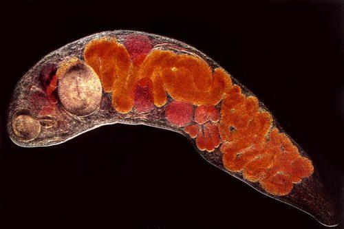 enterobiosis ascariasis hookworm necatorosis a parazitatabletták testének tisztítása