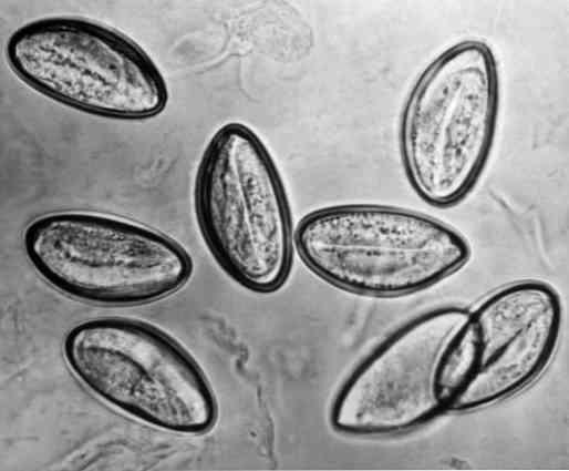 enterobiosis ciklus