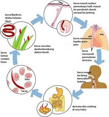 parazita tisztító eredmények a máj parazitákkal történő kezelésének hagyományos módszerei