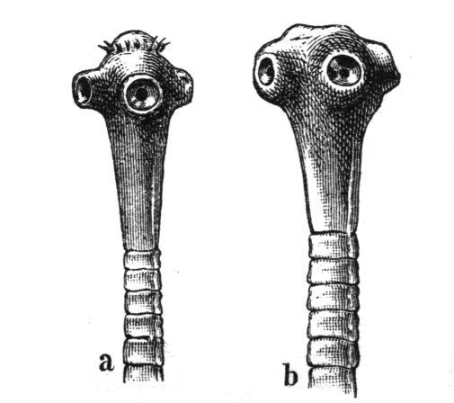 galandféreg fogyás előtt és után c-lium fogyni
