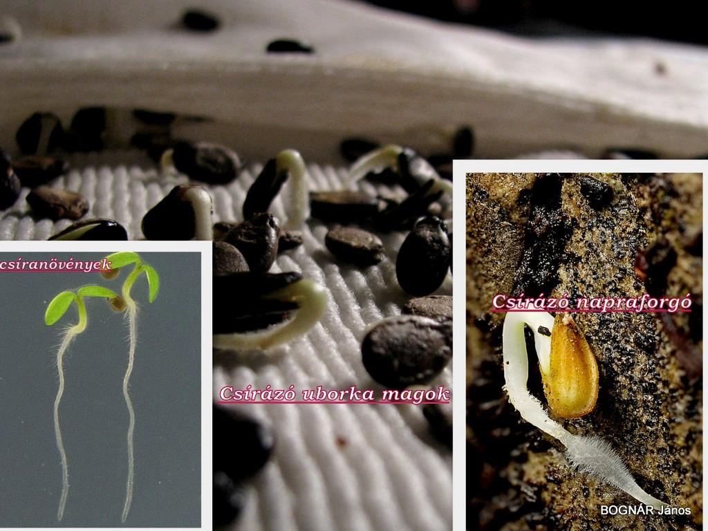 gencián gyökér paraziták