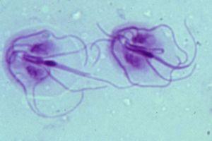 szalagféreg tabletta emberek számára pinworm szisztematikus pozíciója