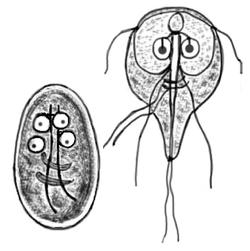 Giardiasis felnőtteknél. Milyen betegség a giardiasis? - HáziPatika