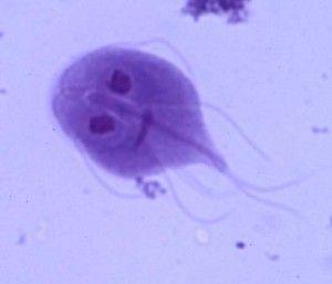 giardia parasite antibiotics