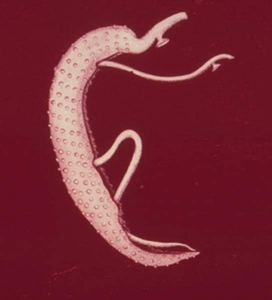 helmint reproduktív rendszer nyul feregtelenites