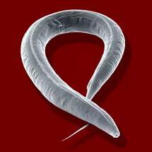különböző paraziták az emberekben paraziták vincent hennebicq