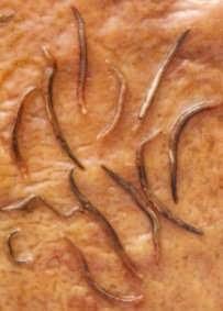 les parasites de l estomac hogyan lehet férgekben férgeket megjeleníteni
