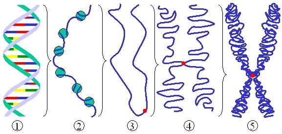milyen férgekben van az ember kromoszóma