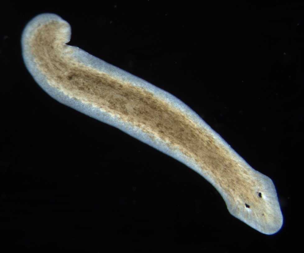phylum platyhelminthes acoelomate