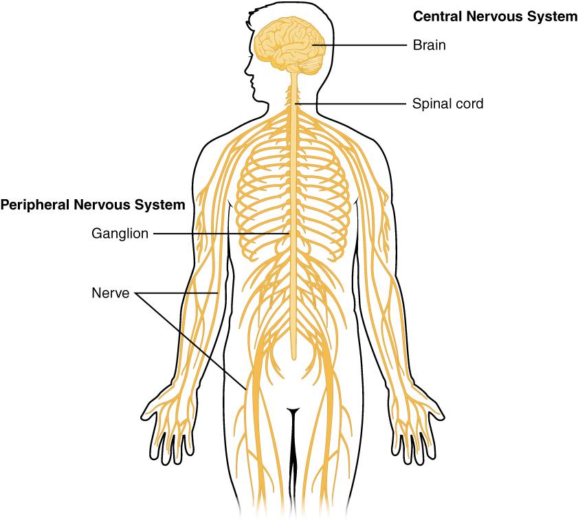 Koronavírus: a központi idegrendszert is károsíthatja a vírus