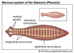 Az Ascaris kapcsolódási szervei egy széles szalag fertőzésének stádiumai az emberekben
