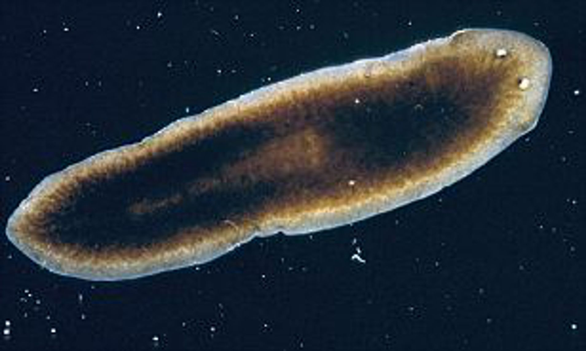platyhelminthes test