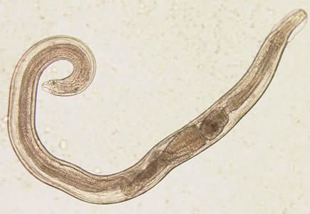 a paraziták hatékony kezelése emberben hogy néz ki a kerekes féreg