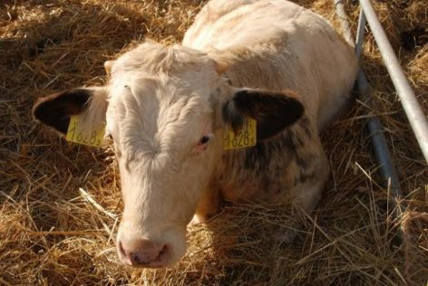 a fertőzött szarvasmarhák férge