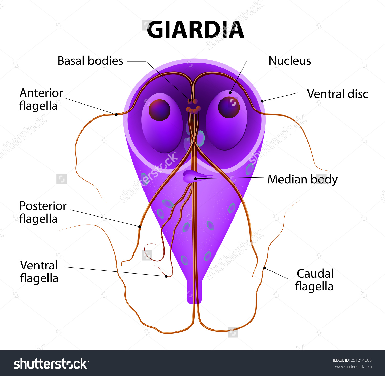 giardia diarrhea after eating menü egy hétig gyermekek giardiasisával