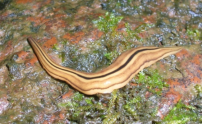 acoelomates phylum platyhelminthes