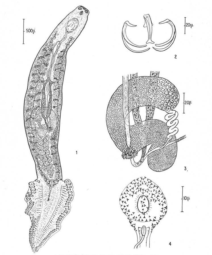 emberi bika szalagféreg tünetei belfereg gyogynoveny