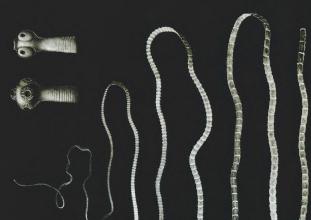 Paraziták (férgek) a veszély és megelőzésére Pollock