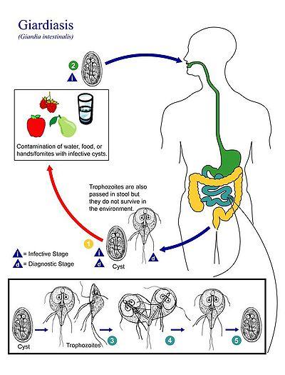 megsemmisíti az agyban élő parazitákat