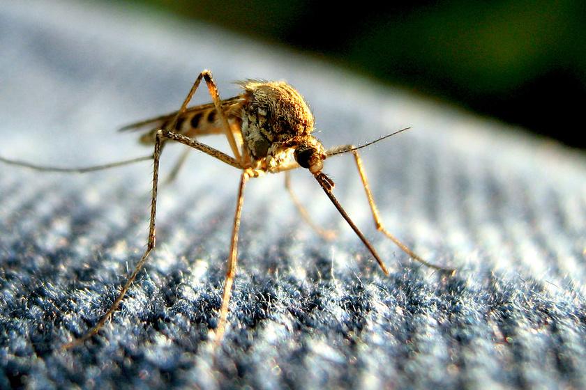 szúnyogok mikrosporid parazitái parazita gyógyszerek terhesség alatt