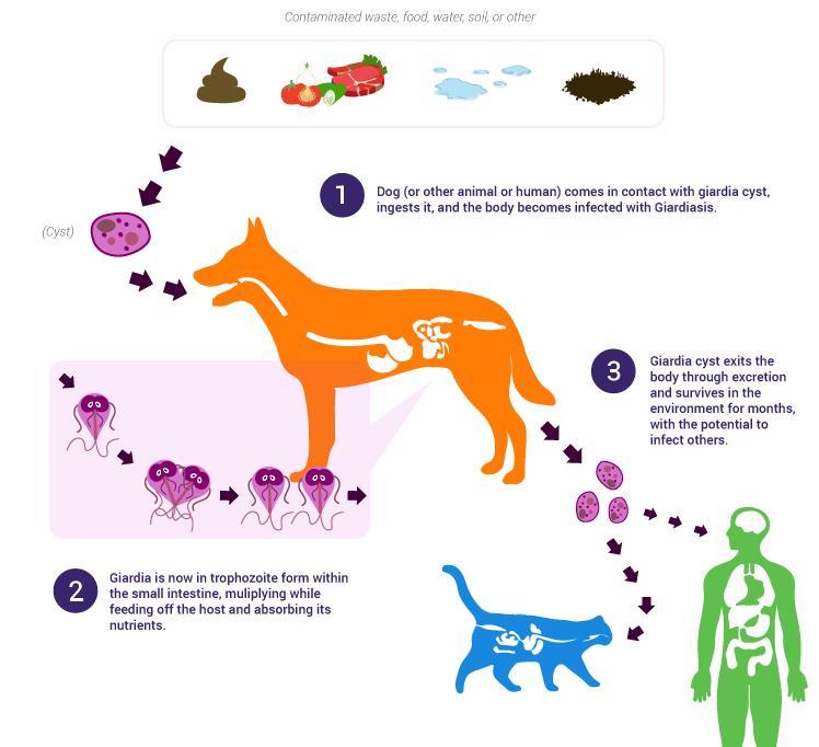 giardia gatto medicine