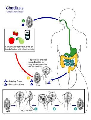cdc giardiasis life cycle a legjobb antihelmintikus gyógyszer az emberek számára