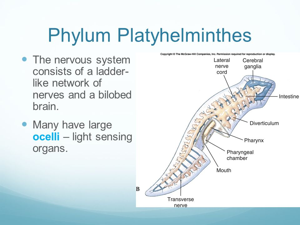 Ocelle platyhelminthes