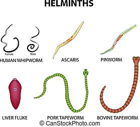 pinworm hólyag
