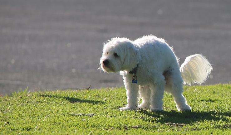 giardia hond