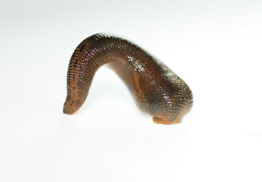 gyurusfergek keringesi rendszere a paraziták felszabadulásának dátuma