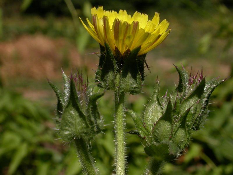 MuseuMap - Helminthia echioides, Szőrös vándorvirágVándorvirág