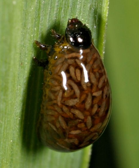 horoghernyó parazitológia
