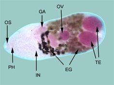 főtt rákok szalagféreg parazita megelőzés emberek számára