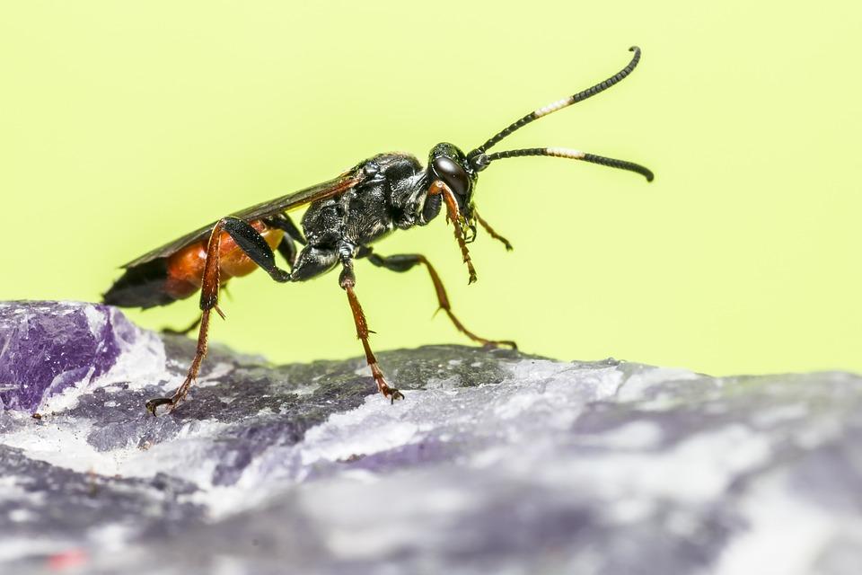 Így nyírják ki a hangyákat a parazita darazsak