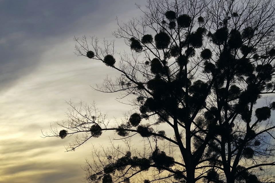 bokor parazita a fán