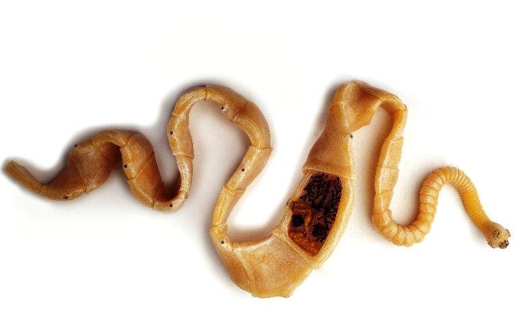 mms gyógyítja a parazitákat