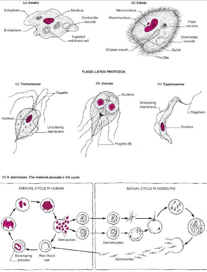 giardiasis diéta nem mikroszkopikus paraziták