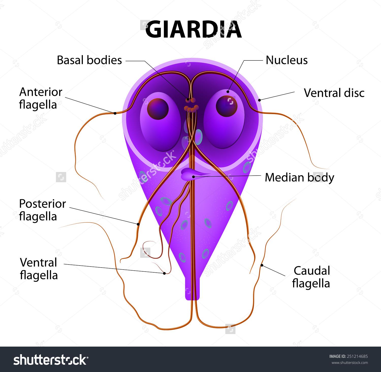 giardiasis kórokozó