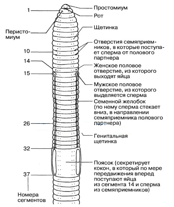 A csigák morfológiája – Wikipédia