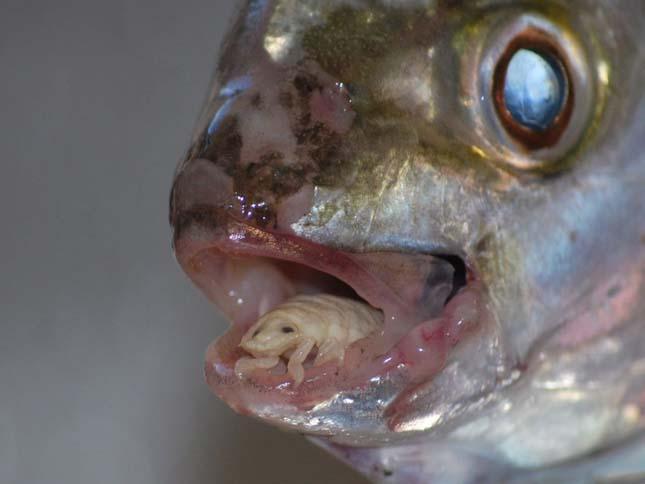 érdekes paraziták giardia bij mens symptomen