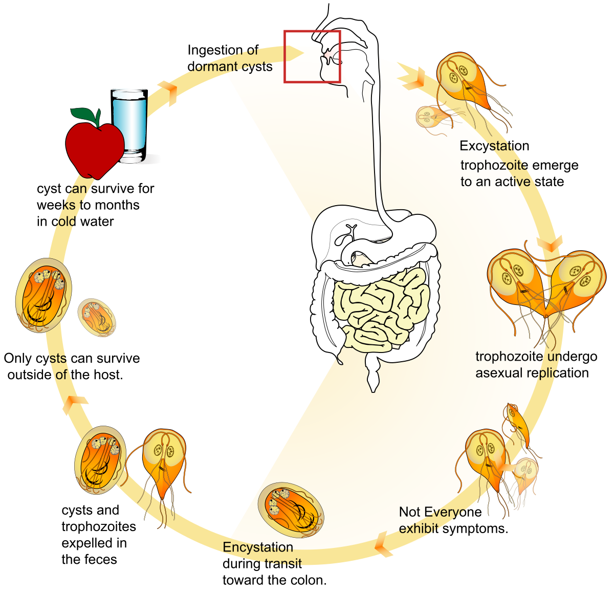 opisthorchiasis laboratóriumi diagnózis, tojásméret